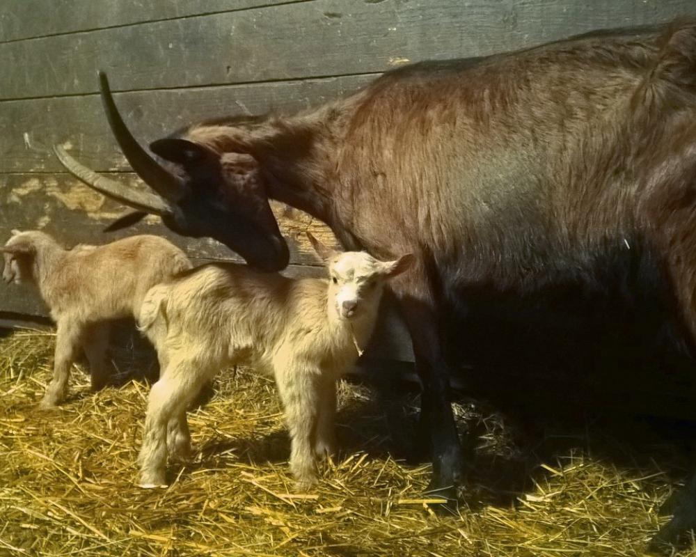 Capra e capretti
